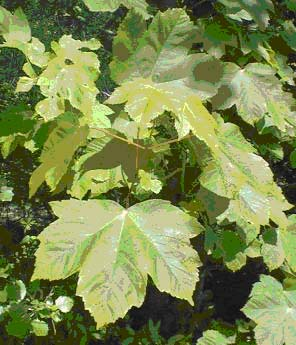 Esdoorn maat 60/90 (Acer pseudoplatanus)