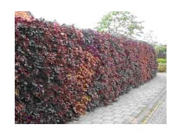 Haagbeuk maat 60/90 (Carpinus betulus)