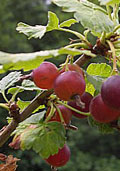 Jostabes (Ribes Jostaberry)