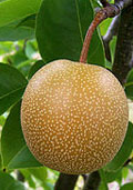 Nashipeer halfstam (Pyrus pyrifolia)
