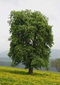 Eetbare kastanje (hoogstam) (Castanea sativa)