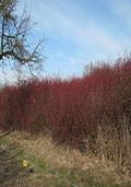 Rode kornoelje maat 60/90 (Cornus sanguinea)