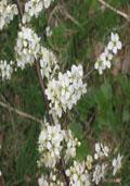 Sleedoorn maat 60/90 (Prunus spinosa)