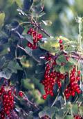 Aalbes rood (Ribes rubrum)