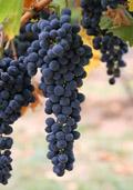 Druif (wit of blauw) (Vitis vinifera)