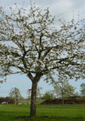 Kersenboom (hoogstam)