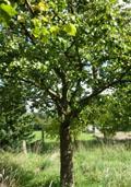 Perenboom (hoogstam) (Pyrus communis)