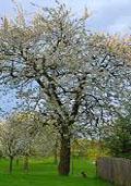 Kriekenboom (halfstam) (Prunus cerasus)