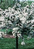 Kweepeer (halfstam) (Prunus cerasus)