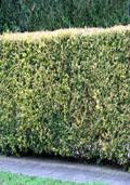 Liguster bladhoudend maat 60/90 (Ligustrum ovalifolium)