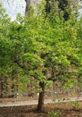 Mispel (hoogstam) (Mespilus germanica)