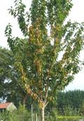 Perzikboom (halfstam) (Prunus persica)