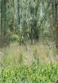 Gewone wilg hoogstam (Salix gewoon)