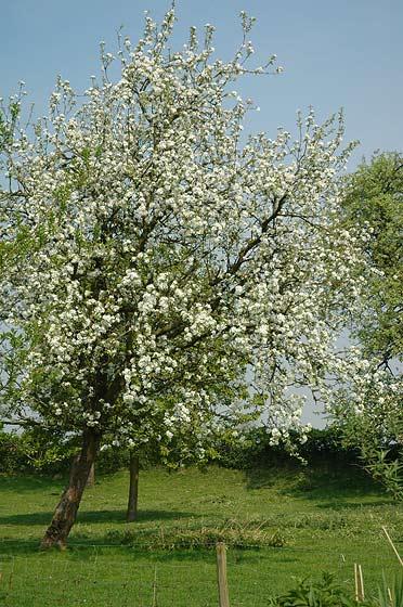 Appelboom (hoogstam) (Malus domestica)
