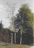 Beuk maat 60/90 (Fagus sylvatica)