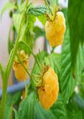 Zomerframboos (geel) (Rubus idaeus zomer 'geel')