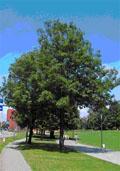 Noorse esdoorn hoogstam (Acer platanoides)