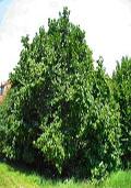 Hazelaar maat 60/90 (Corylus avellana)