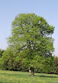 Kleinbladige linde maat 60/90 (Tilia cordata)
