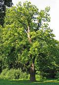 Paardekastanje hoogstam (Aesculus hippocastanum)