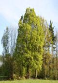 Veldesdoorn maat 60/90 (Acer campestre)