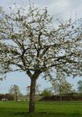 Kersenboom (hoogstam) (Prunus avium)