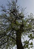 Pruimenboom (hoogstam) (Prunus persica)