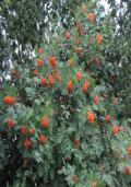Lijsterbes maat 60/90 (Sorbus aucuparia)