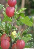 Stekelbes GUL (Ribes uva-crispa Hinnonmäki Gul)