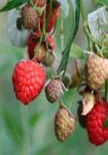 Framboos herfstvariëteiten Zefa Herbsternte (Rubus idaeus 'Zefa Herbsternte')