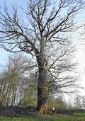 Zomereik maat 60/90 (Quercus robur)