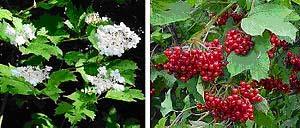 Gelderse roos maat 60/90 (Viburnum opulus)